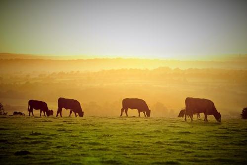 cows (2).jpg