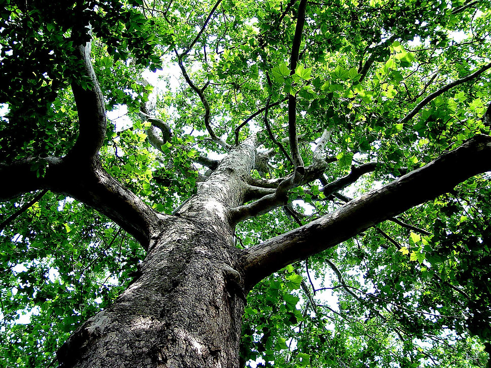 Tree SD.jpg