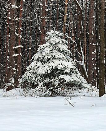 Pine Tree with Snow.jpg