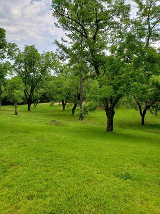 Pecan Orchard B