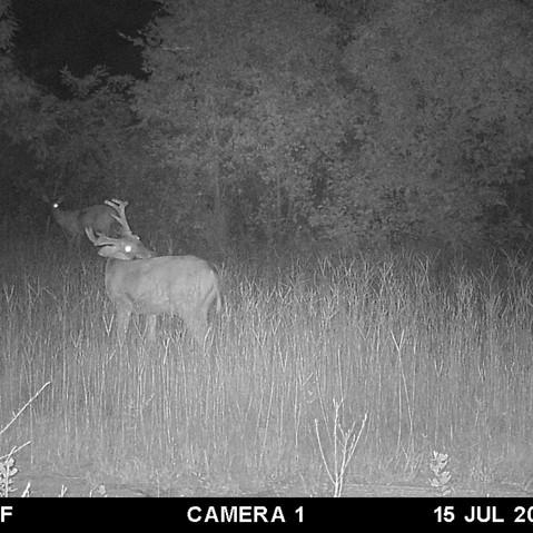 Deer - July 2019.jpg
