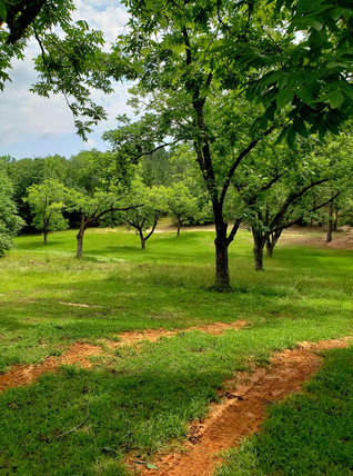 Pecan Orchard A