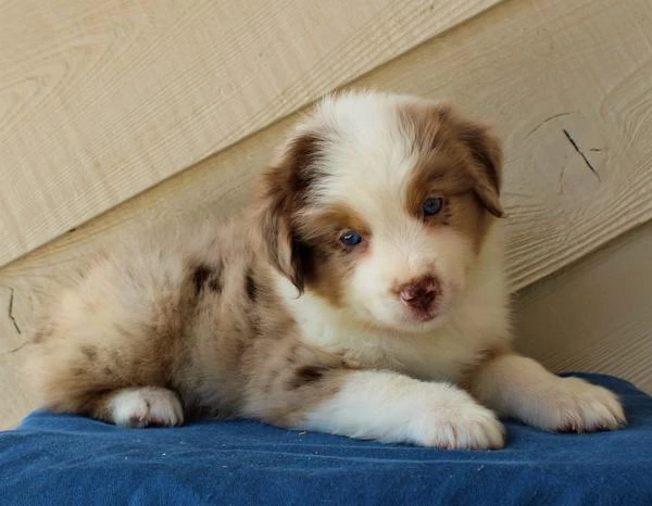 Screenshot_2019-05-03 Mini Aussie Dogs P