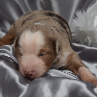chiot rouge merle