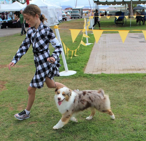 Screenshot_2019-04-28 Mini Aussie Dogs P