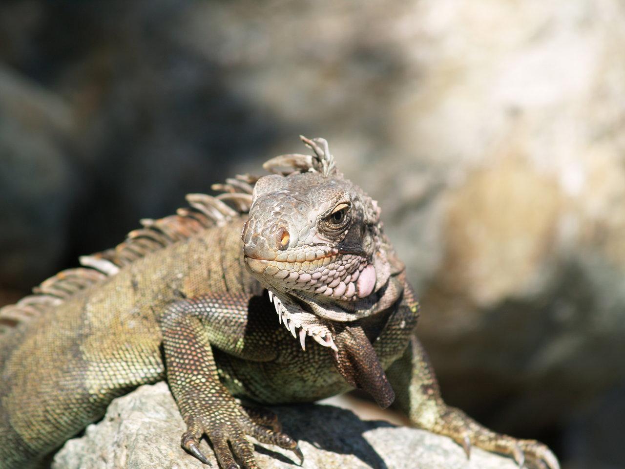 Iguana Head On