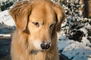 Golden in snow.jpg