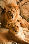 Lions - Relas.jpg