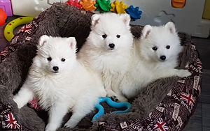 Trio of Japanese Spitz Puppies