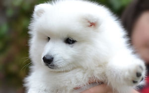 Veterinary Care for your Japanese Spitz