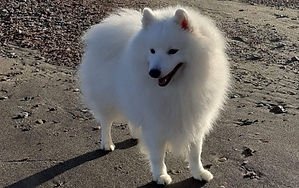 Behaviour in the Japanese Spitz Dog Breed