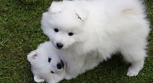 The History of the Japanese Spitz Breed