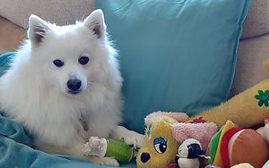 Dog Rescue for Japanese Spitz Breed