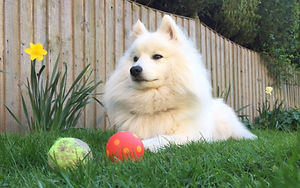 Japanese Spitz Dog guarding Toys
