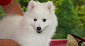 Grooming your Japanese Spitz Dog