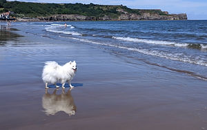 Japanese Spitz by Sea Shore