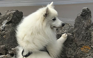 Japanese Spitz Dog looking over Sea Wall