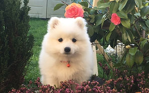 Japanese Spitz Puppy by Rose Bush