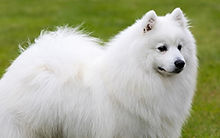 Kennel Club Standard for Japanese Spitz Breed