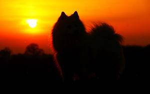 Japanese Spitz Dog in Sunset Silhouette
