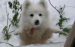 Japanese Spitz Puppy Socialisation