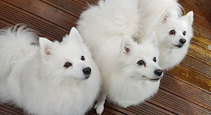 Feeding your Japanese Spitz Puppies and Dogs
