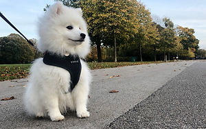 History of the Japanese Spitz Breed
