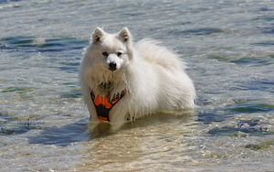 Temperament of the Japanese Spitz Breed