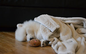 Japanese Spitz Puppy under Blanket