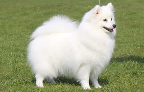 Japanese Spitz Championship Show Results
