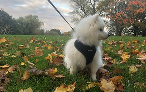 Get Togethers and Country Park Walks for Japanese Spitz Dogs and their Owners