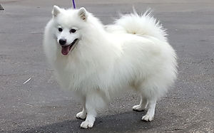 Japanese Spitz Club Show Results