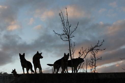 Lobos en Alba