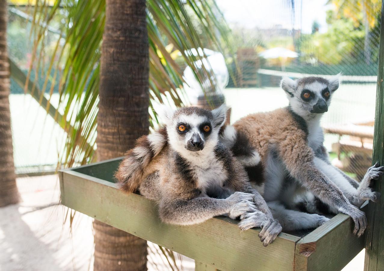 necker island lemurs