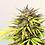 Thumbnail: Hemp Flower Seeds - Otto Cherry