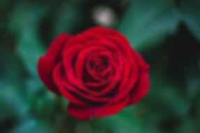 redrose (1).jpg