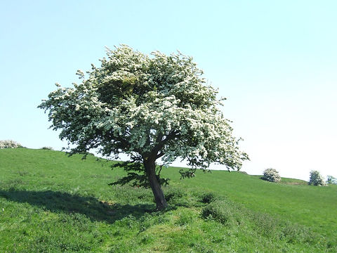 hawthorntreebloom.jpg