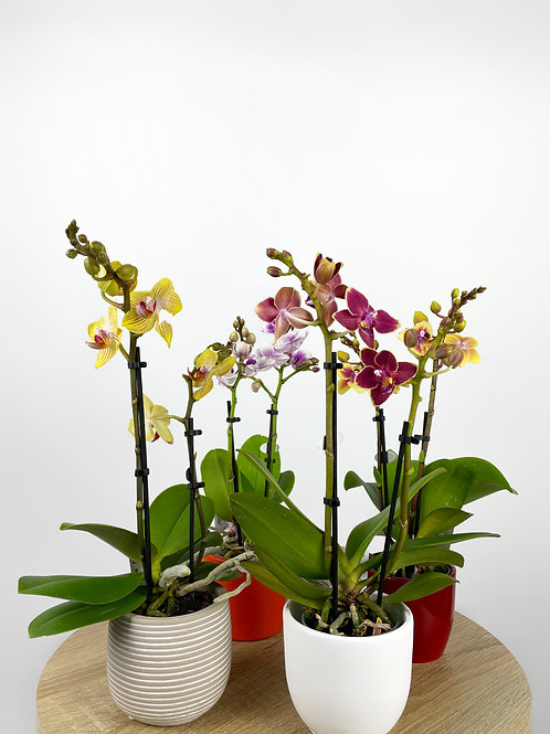 Mini Orchids (Various)