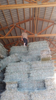 Early July cutting of hay, stacked in the barn