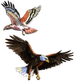 Eagle and Hawk