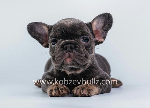 Голубоподпалый щенок французского бульдога