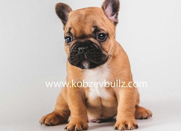 Красный щенок французского бульдога
