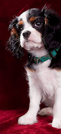 Pet photography - Cavaliar King Charles Spanial - Baxte