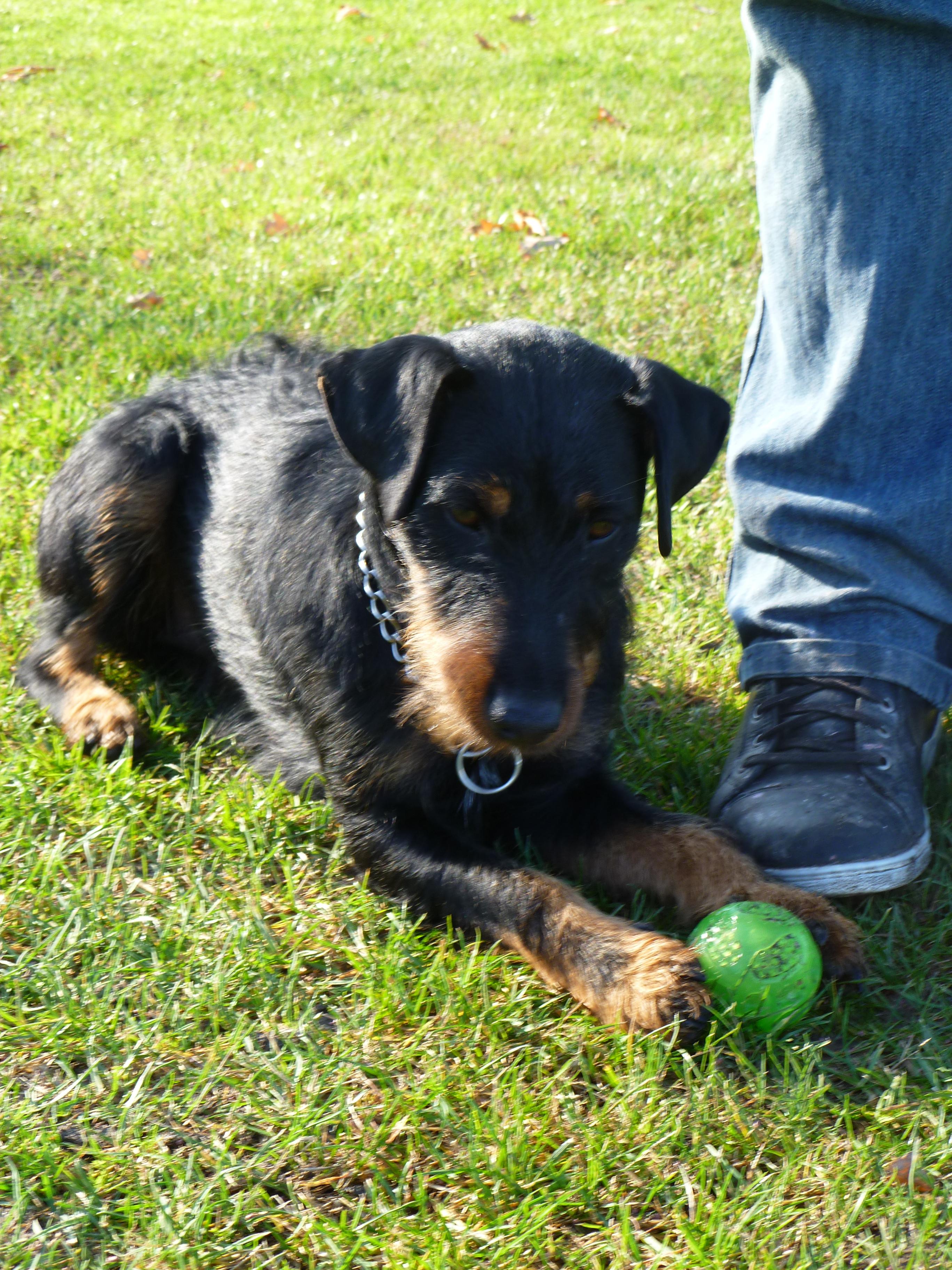 Gus(jagd terrier)