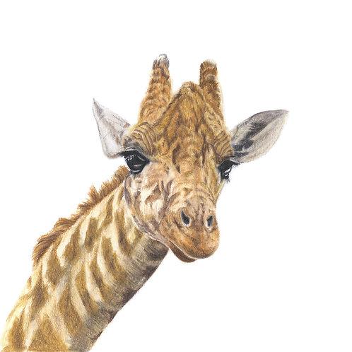 George - Giraffe Coloured Pencil Print