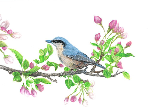 Nuthatch Study - Limited Edition Print