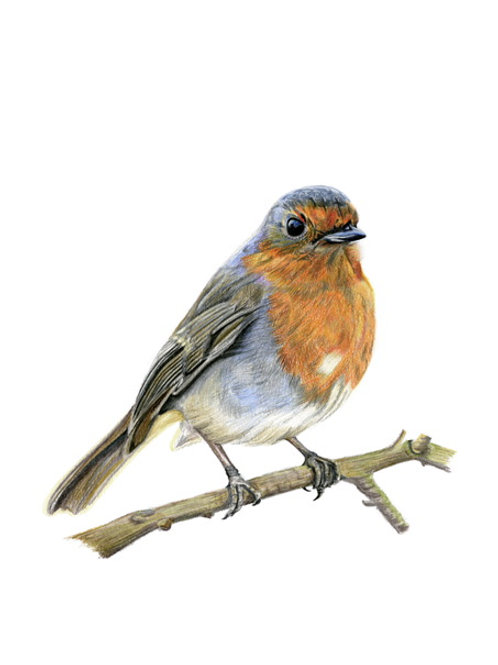 Robin Red Breast - Coloured Pencil Drawing