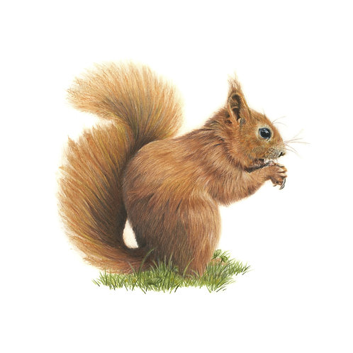 Nutkin - Red Squirrel Coloured Pencil - Print