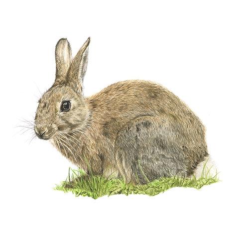 Bigwig - Rabbit Coloured Pencil Drawing Print