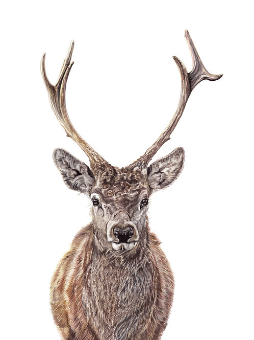 'Red' Stag - Coloured Pencil Drawing